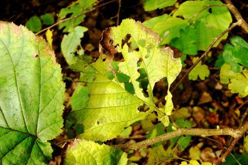 beech leaves beech eaten on