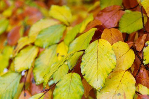 Beech Leaves Pattern