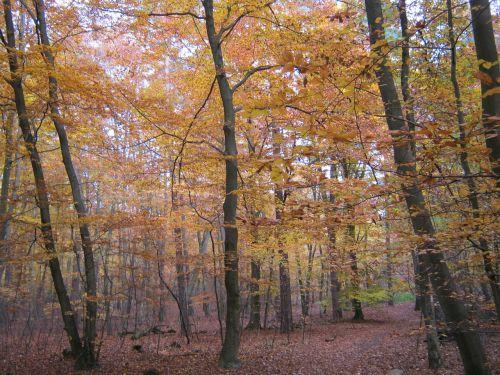 beech wood golden november