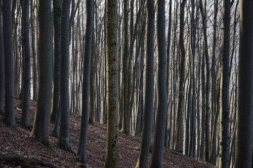 beech wood strains beech logs