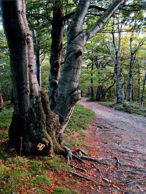 beeches beskids forest