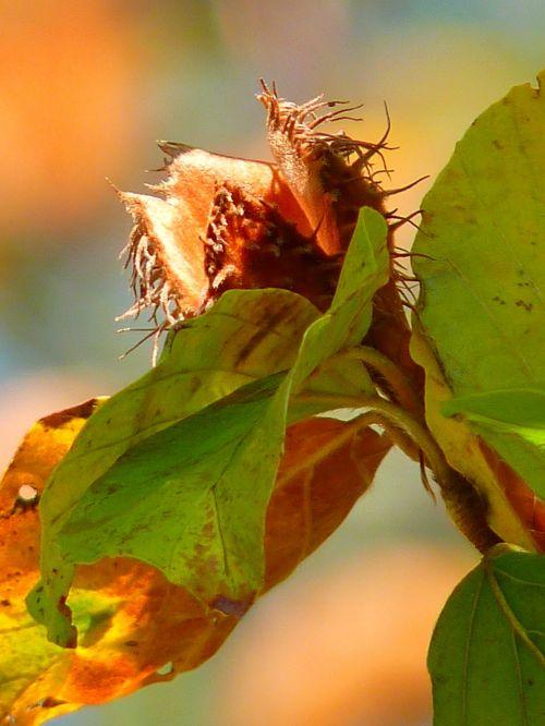 beechnut tree beech