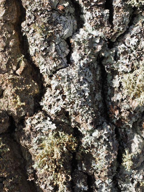 beef poplar poplar bark