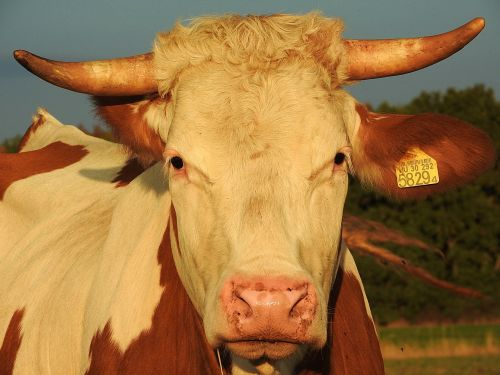 beef simmental cattle livestock