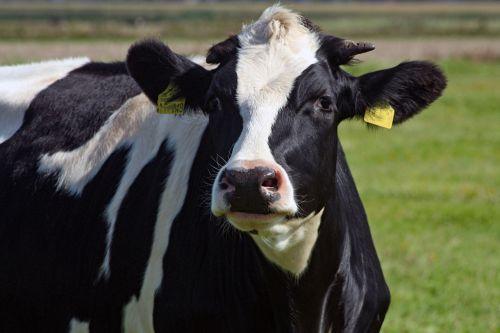 beef bull animal