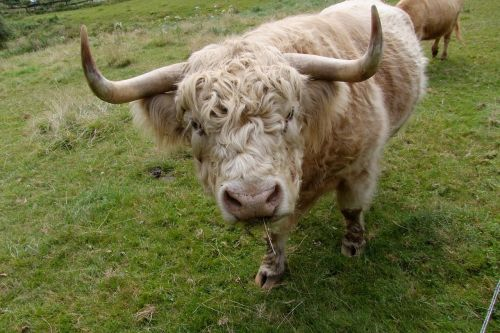 beef cattle highland beef