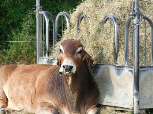 indian rind brahma rind bull