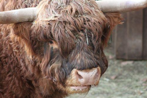beef animal brown