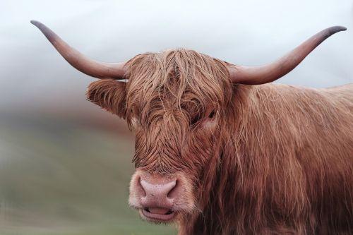 beef cow long horn