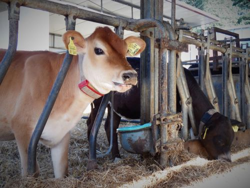 beef calf agriculture