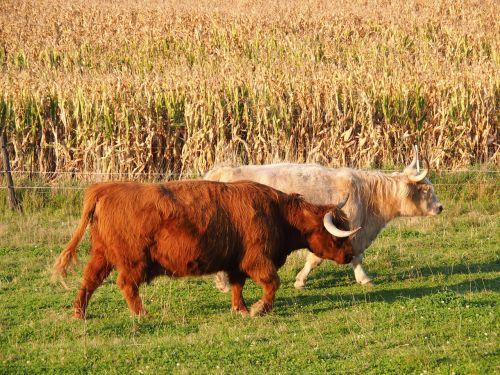 beef cow highland beef