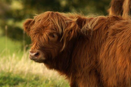 beef highland bull