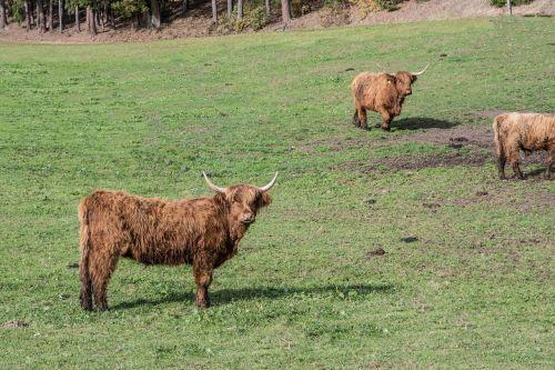 beef pasture beef highland beef