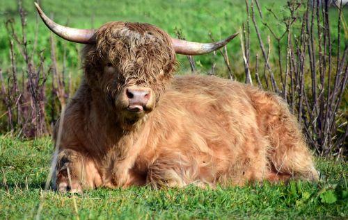 beef bull pasture