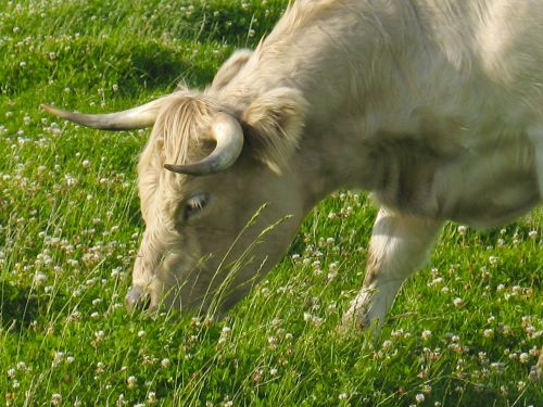 jautiena,viduje,klee,karvė karvė,kalnų pievos,ganyti,galvijai,karvės,karvė,gyvūnas,ruda,gyvūnai,ragai,ganykla