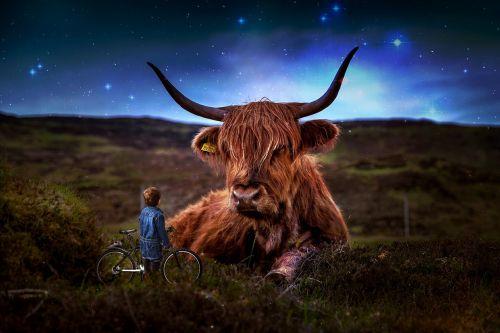beef scotland highland beef