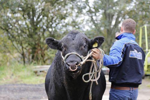 beef bull angus