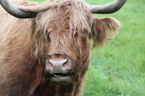 beef scottish hochlandrind animal