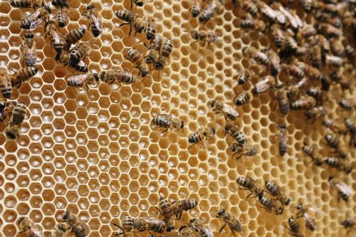 beehive bees insects