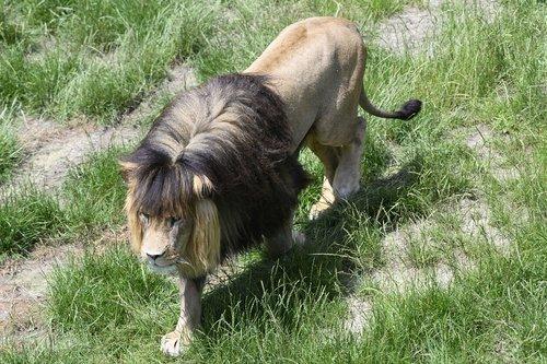 beekse bergen  lion  predator