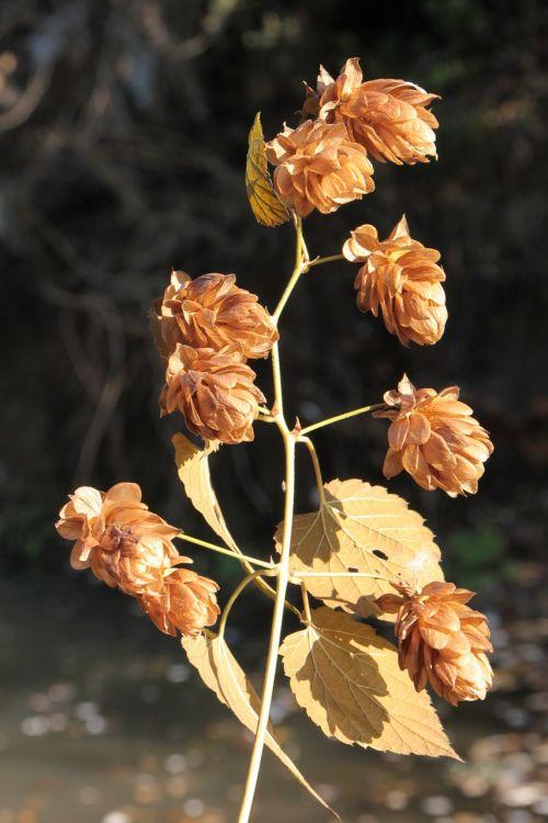 beer flowers hops
