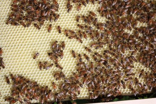 bees beekeeping honey
