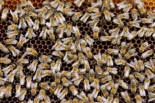 bees combs insect
