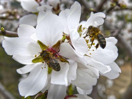 bees libar almond flower