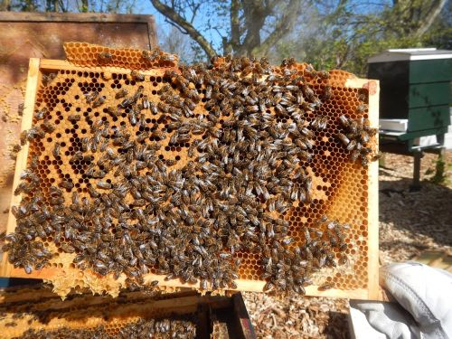 bees harlem honey