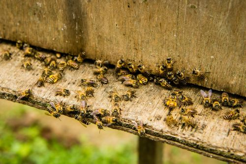 bees beekeeping insect