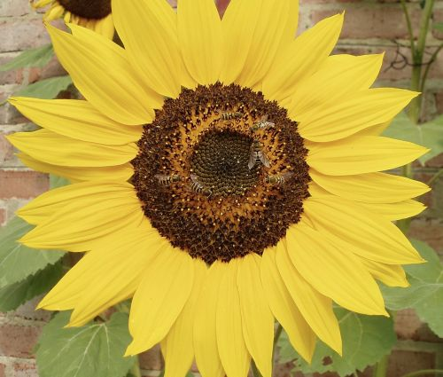 bees pollinate sunflower