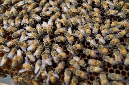 bees bee closeup