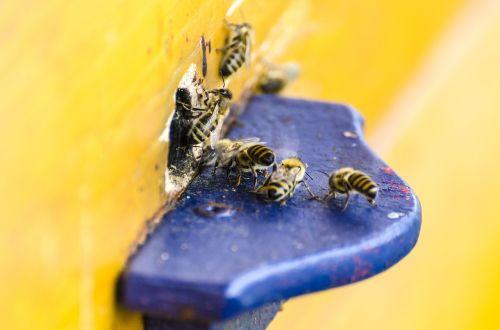 bees honey bees beehive