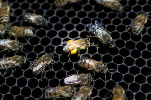 bees nature beekeeping
