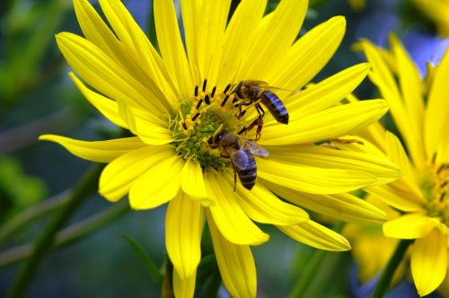 bees honey flower