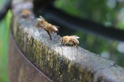 bees water barrel
