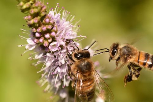 bees forage macro