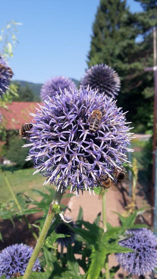 bees honey echinops