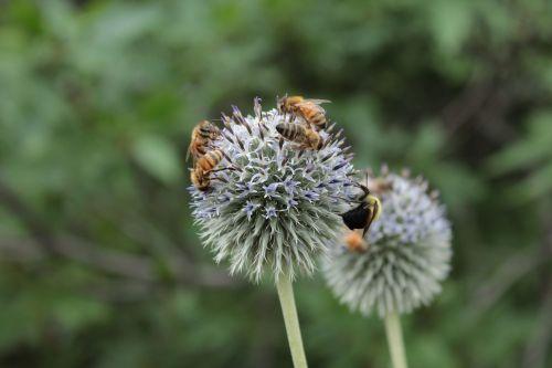 bees nectar honeybees