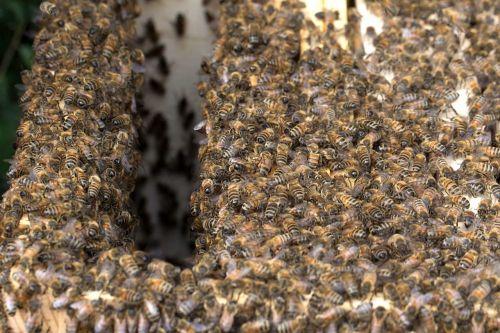 bees honey bees honey bee