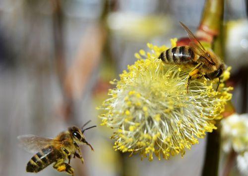 bitės, medus, pavasaris, žiedadulkės, medaus BITĖ, gamta, vabzdys, geltona, skraidantis, juoda, gluosnis, žiedas, žalias, skristi, sparnas, be honoraro mokesčio