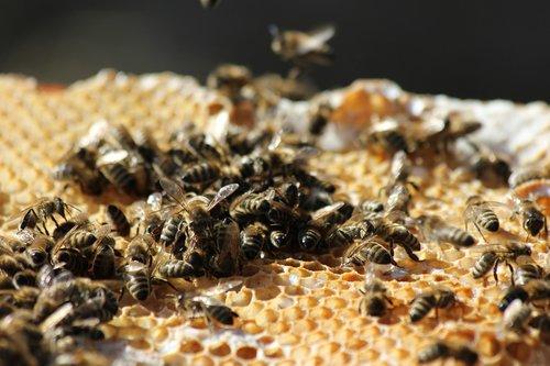 bees  honeycomb  beekeeping