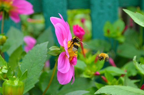bees  bumblebees  insect