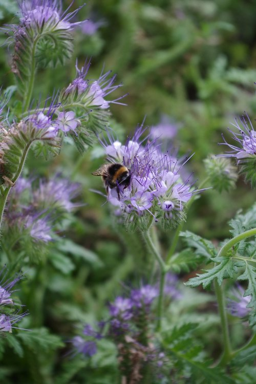 bees  bee  green manure
