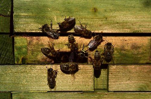 bees  beehive  wasp