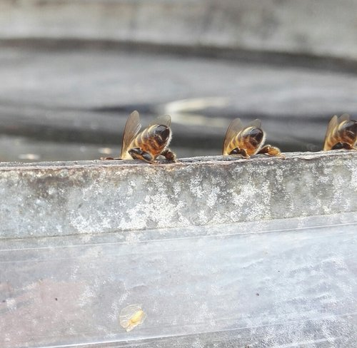 bees  drink  insects