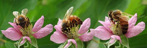 bees  insects  blossom