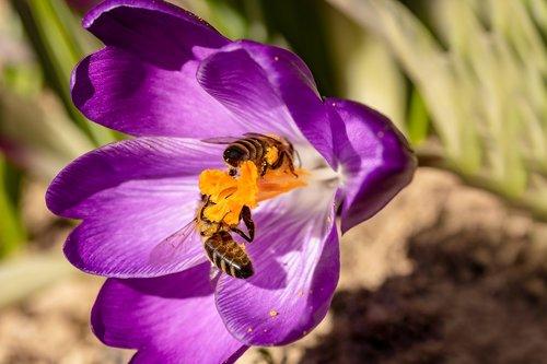 bees  crocus  honey bees