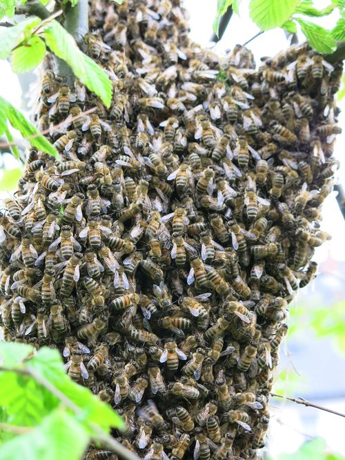 bees  swarm  summer