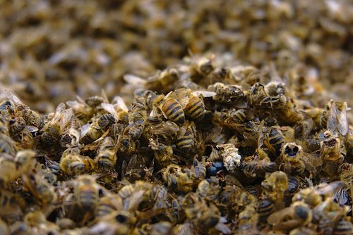 bees  bee deaths  pesticidal